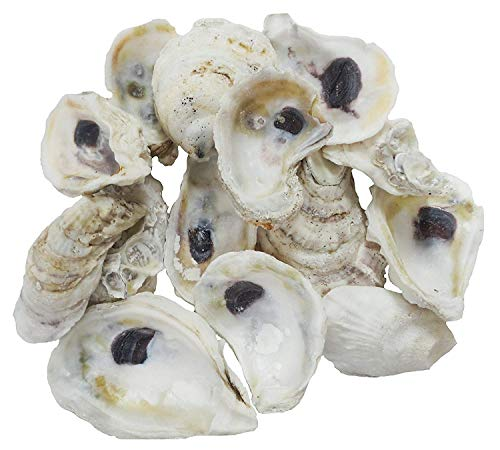 The Shell Connection | Oyster Shells 3' - 4' | 24 Pieces