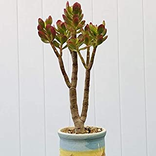10'' to 12'' Live Jade Crassula Ovata Crosby's Compact Rooted Jade Great for Bonsai/Office Plant