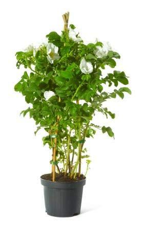 Müllers Grüner Garten Shop Kartoffelrose Weiße Apfelrose Rosa rugosa Alba beliebte Wildrose Heckenrose Bienenweide Nährgehölz