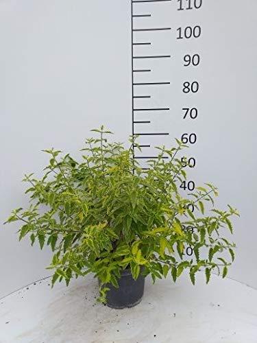 Späth Bartblume 'Summer Sorbet' LH 30-40 cm im 5 Liter Topf Zierstrauch blau blühend Gartenpflanze Halbschatten 1 Pflanze