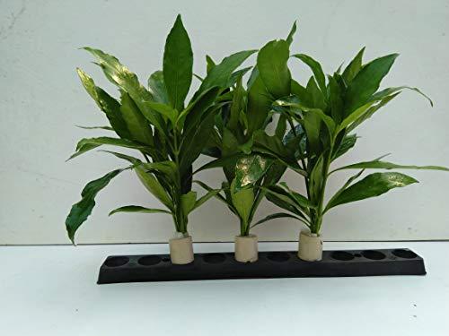 3 Bund Justicia Gendarossa,Chichlidenkraut,Barschfest Aquarienpflanzen