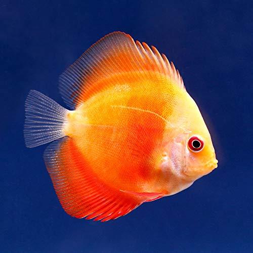 (熱帯魚)レッドメロン・ディスカス(Sサイズ)(1匹) 北海道・九州航空便要保温