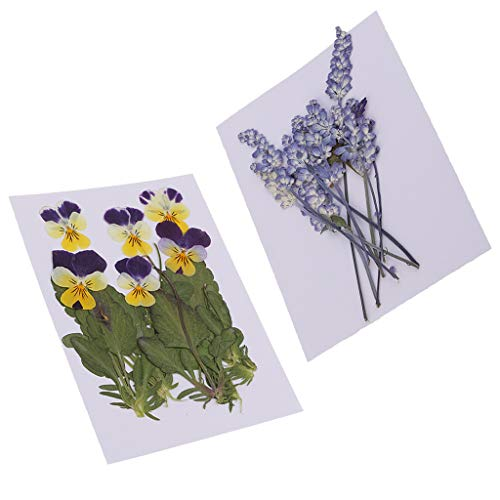dailymall 16x Gedrückt Natürliche Getrocknete Blumen Viola Tricolor & Salbei