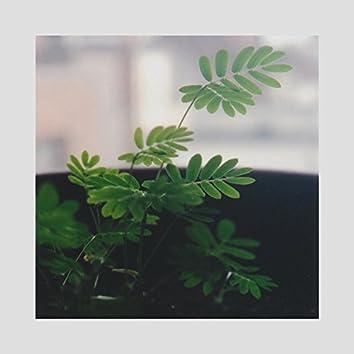 Music for Mimosa Pudica & Codariocalyx