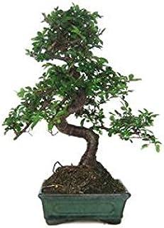 comprar comparacion Zelkova parvifolia 6 años OLMO CHINO