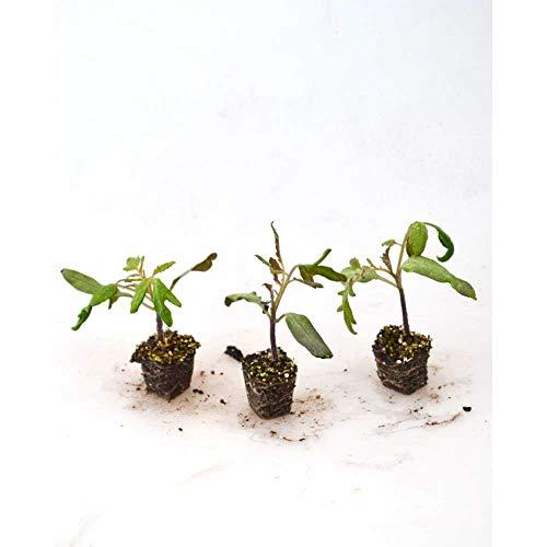 Cherry-Tomate/Mirado® Orange F1 - Solanum lycopersicum - 3 Pflanzen im Wurzelballen