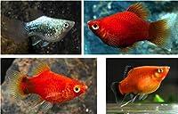 【熱帯魚・卵胎生メダカ】 ミックスバルーンプラティー ■サイズ:アダルト (5匹)