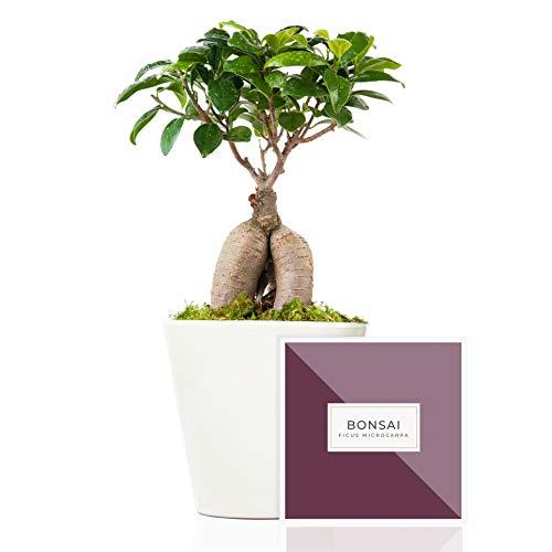 Bonsai Ficus Microcarpa Ginseng natural 27 cm en maceta artesanal de 16 cm diámetro entregado en caja de regalo con guía de cuidados – Planta interior Ficus Retusa – Ideal para decoración hogar