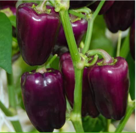 Tomasa Samenhaus- Raritäten Gemüse-Paprika Samen,50 Stück Riesen Bio-Paprika Farbige Pfeffer Samen Gemüsesamen mehrjährig winterhart Gemüse Saatgut für Hausgarten