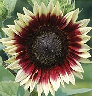 David's Garden Seeds Sunflower Strawberry Blonde SL1174 (Multi) 25 Non-GMO, Hybrid Seeds