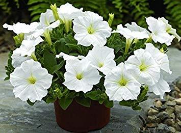 VISTARIC Weiß: 200pcs / Garten-Petunie Samen Seltene Indoor Bonsai Petunia Blumensamen fr DIY Hausgarten Pflanze Hngende Krbe und Behlter Weiß