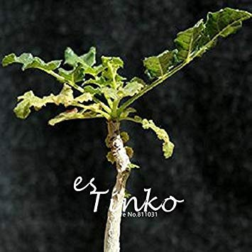 2 pcs Rare Boswellia Sacra Graines Caudex Plante à graines Rare Semences Home Garden bonsaï Plante DIY