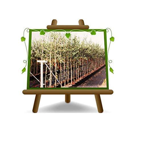 Olivier Olivenbaum Oliven Leccino - Obstpflanze auf Blumentopf 20 Baum Höhe max 150 - 2 Jahre Anbau Italien