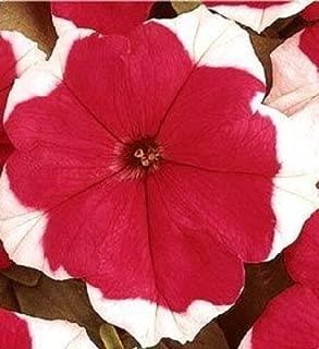 50 Seeds Picotee Petunia Flower Pelleted Dreams Red #MRB01