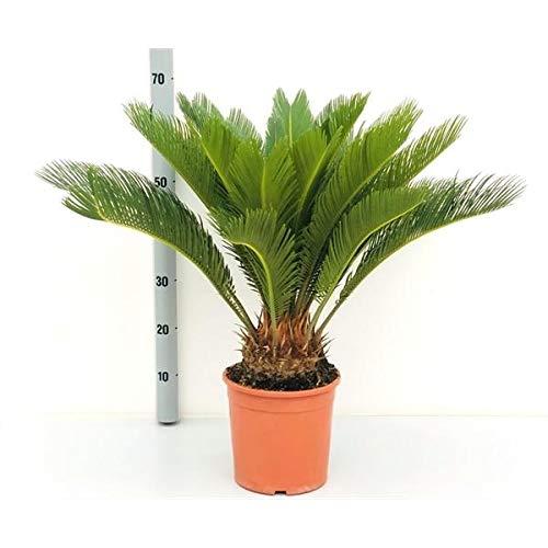 Cycas Revoluta 70-80 cm Palmfarn Sagopalme Zimmerpflanze