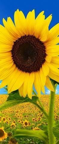 Sommerlicher & Hochwertiger Deko Textilbanner für Schaufenster - Große Auswahl - Beidseitig Bedruckt - 180cmx75cm - Wanddeko Sommer/Textilbild/Fotoprint (Sonnenblume)