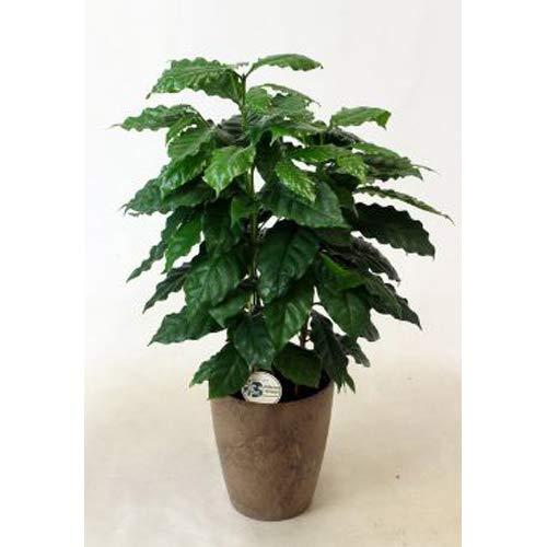 プランツネット(Plants Net) 観葉植物 コーヒーの木 6号 K0106687 5入