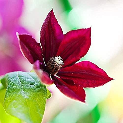 2Stücke Clematis-Zwiebeln Authentische rote Blumenzwiebel für Gartenarbeit Pflanzungsauswahlfamilie Hinzufügen natürlicher Landschaft Kolibris anziehen
