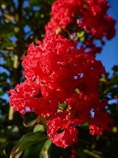 Best dwarf crepe myrtle bush Reviews