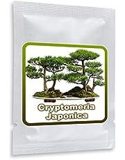 20 Semillas de Pino Cryptomeria Japonica (cedro japonés) - cultivable como árbol o bonsái