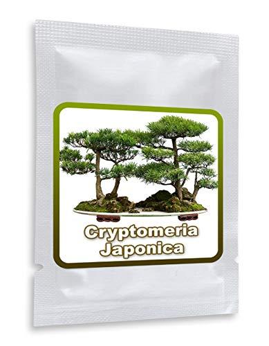 Cèdre du Japon 25 graines - Cryptomeria japonica - Cultivable comme arbre ou bonsaï