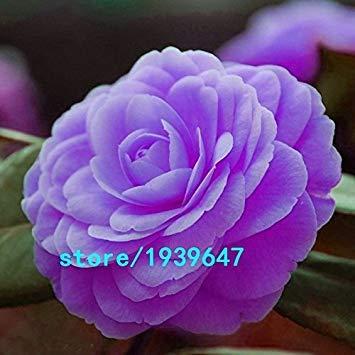 Vistaric Rare Purple Camellia Graines En Pot Jardin Fleur Graines En Pot Ornementales Plantes Japonais Camélia Graines 100 pcs Livraison Gratuite