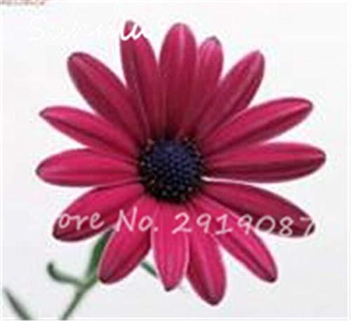 11: Schöne Gänseblümchen Blumensamen 30 Partikel Eiscreme Parfüm Chrysantheme Tha Souk Tanz Bonsai Blumensamen