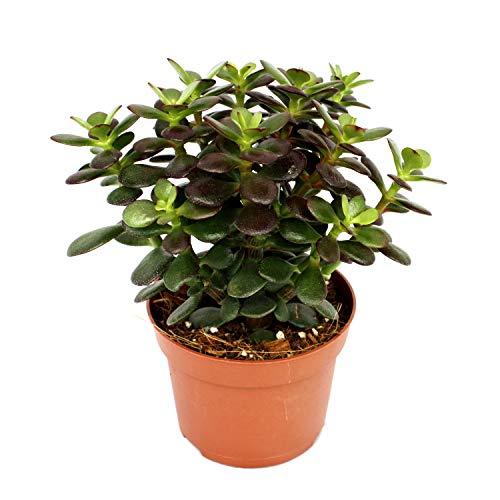 Crassula portulacea minor - Pfennigbaum - große Pflanze im 12cm