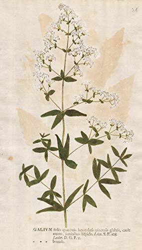 Galium foliis quaternis lanceolatis trineruiis... - bedstraw Labkräuter Botanik botany botanical