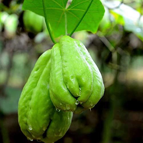 20 Stück Chayote-Samen, Sonnenschein brauchen nahrhaftes Vitamin inklusive natürlicher Chayote-Pflanzensamen für den Garten