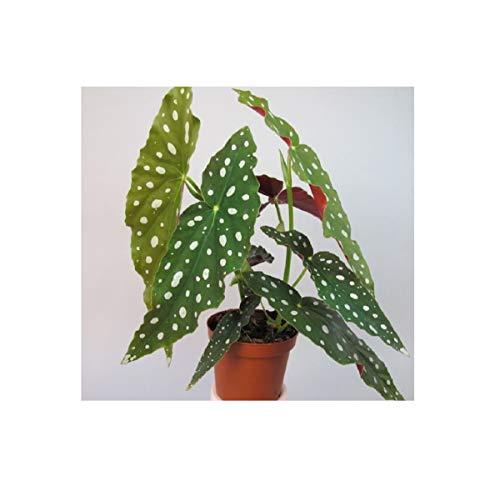 Pz. - 2x Begonia Maculata Pianta Verde Begleitpflanze OWD14 - Seeds Plants Shop Samenbank Pfullingen Patrik Ipsa