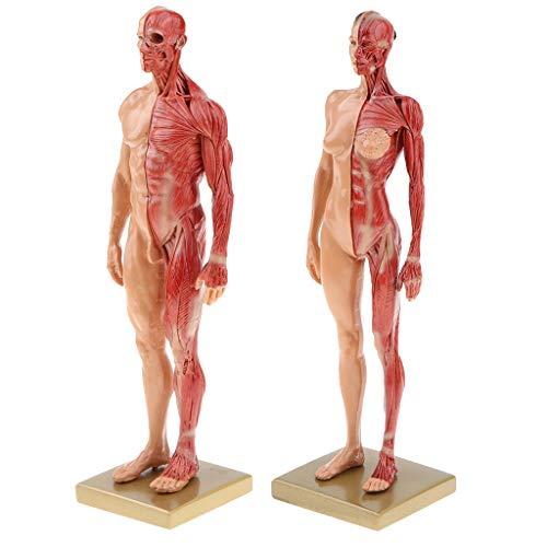 Fenteer 2pcs 11\'\' Anatomie Figur Modell Anatomische Muskelsystem - Weibliche/ Männliche