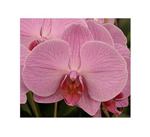 Stk - 1x Phalaenopsis Hybride Orchidee Zimmer Pflanze OW231 - Seeds Plants Shop Samenbank Pfullingen Patrik Ipsa