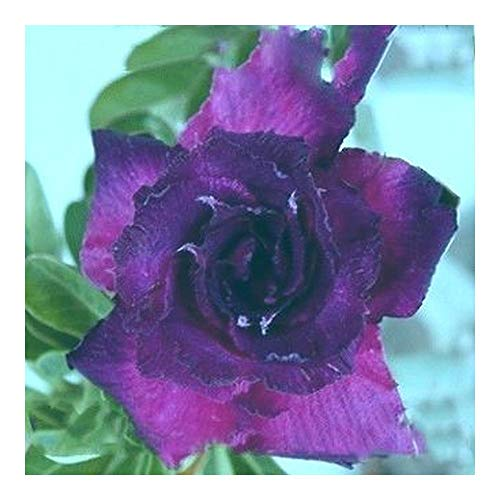 Adenium obesum King Blue Velvet - Rose du désert - Faux baobab King Blue Velvet - 3 graines