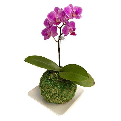 ミニ胡蝶蘭 マイクロ胡蝶蘭 苔玉 3号鉢植え 1本立て /お中元 ギフトに花のプレゼント 開店祝いに 母の日