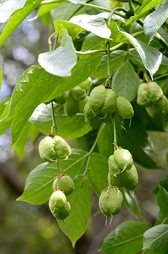 Gemeine Pimpernuss Staphylea pinnata Pflanze 25-30cm Klappernuss Nussbaum