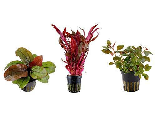 Tropica Pflanzen Set 3 schöne rote Topf Pflanzen Aquariumpflanzenset Nr.12 Wasserpflanzen Aquarium Aquariumpflanzen