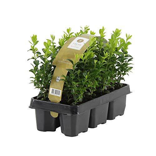 6x Buxus Sempervirens | 6er Set Buchsbaum Pflanzen | Heckenpflanzen Immergrün Winterhart Schnellwachsend | Höhe 25-30 cm