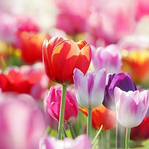 SummerRio 50/100 Stück Tulpe Samen Tulpenzwiebeln Ziertulpen Blumen Bunte Tulpen Seeds Blumensamen Garten Balkon