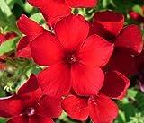 Red Phlox Annual Flower Seeds, 200 Heirloom...