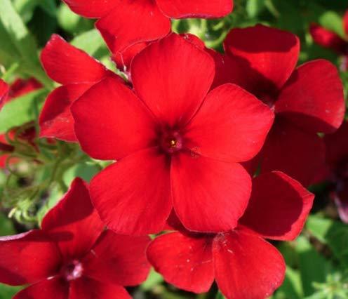 Red Phlox Annual Flower Seeds, 200 Heirloom Flower Seeds Per Packet, Non GMO Seeds, Isla