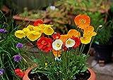 Semillas BloomGreen Co. Flor: Flandes amapola semillas híbridas Semillas de jardín para plantar (19 paquetes) Las semillas de las plantas de jardín