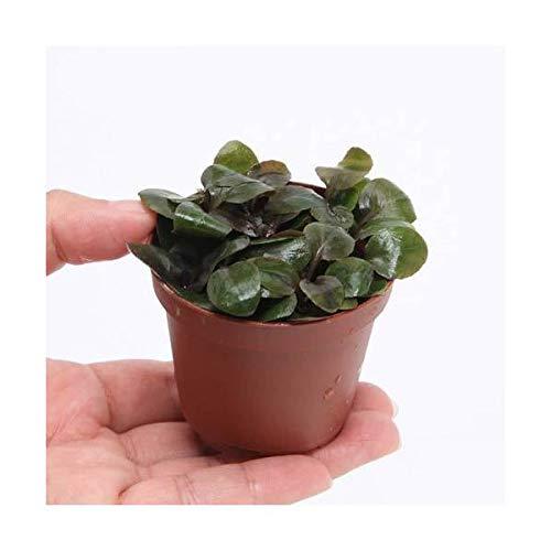 (水草)ロベリアカーディナリス 鉢植え(無農薬)(水上葉)(1ポット分) 北海道航空便要保温