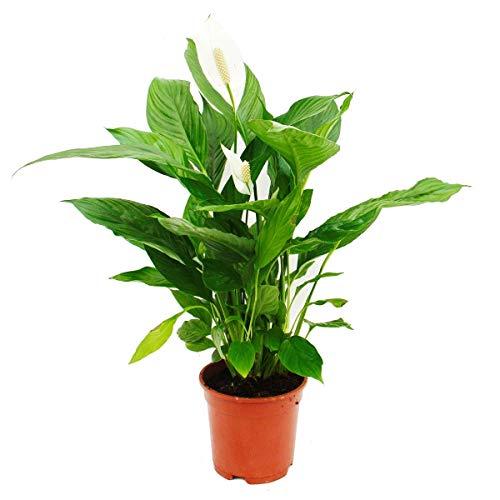 "Spathiphyllum""Cupido"", single leaf - 17cm pot"