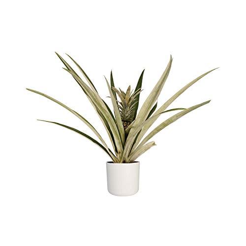 Hellogreen Zimmerpflanze - Champaca Bromelie Ananas - Ananas-Anlage - Höhe: 55 cm - Elho B.FOR Weiche weiße - Luftreinigend