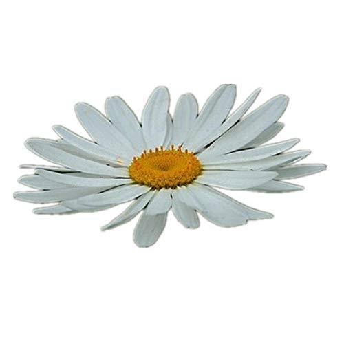 B/H Blüten Saatgut mehrjährig,Frühling Blumen mehrjährig winterhart,Ohama Chrysantheme Hama Chrysantheme Meeresgarten Blumensamen-100kg