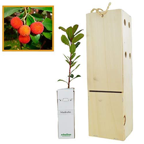 MADROÑO arbolito de pequeño tamaño en caja de madera. Alveolo forestal del arbusto madroño (1)