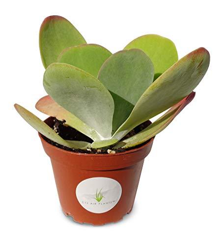 Kalanchoe Flapjacks Succulents Kalanchoe Thrysiflora in 4' Pot