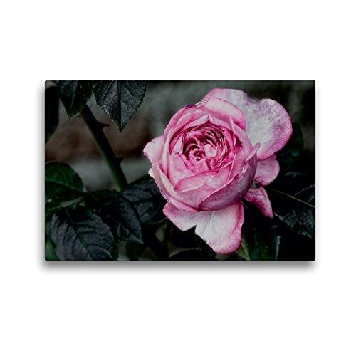 Premium Textil-Leinwand 45 x 30 cm Quer-Format Strauchrose La Rose de Molinard - Delbard 2008 | Wandbild, HD-Bild auf Keilrahmen, Fertigbild auf hochwertigem Vlies, Leinwanddruck von Dieter Meyer
