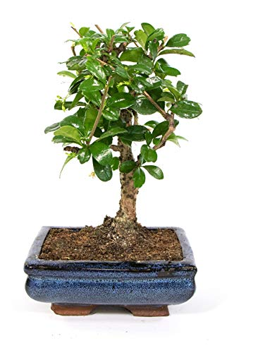 Bonsai Carmona microphylla, S-Form, echter Zimmerbonsai im 8 x 15cm Keramiktopf, Fukientee, Höhe ca. 30cm